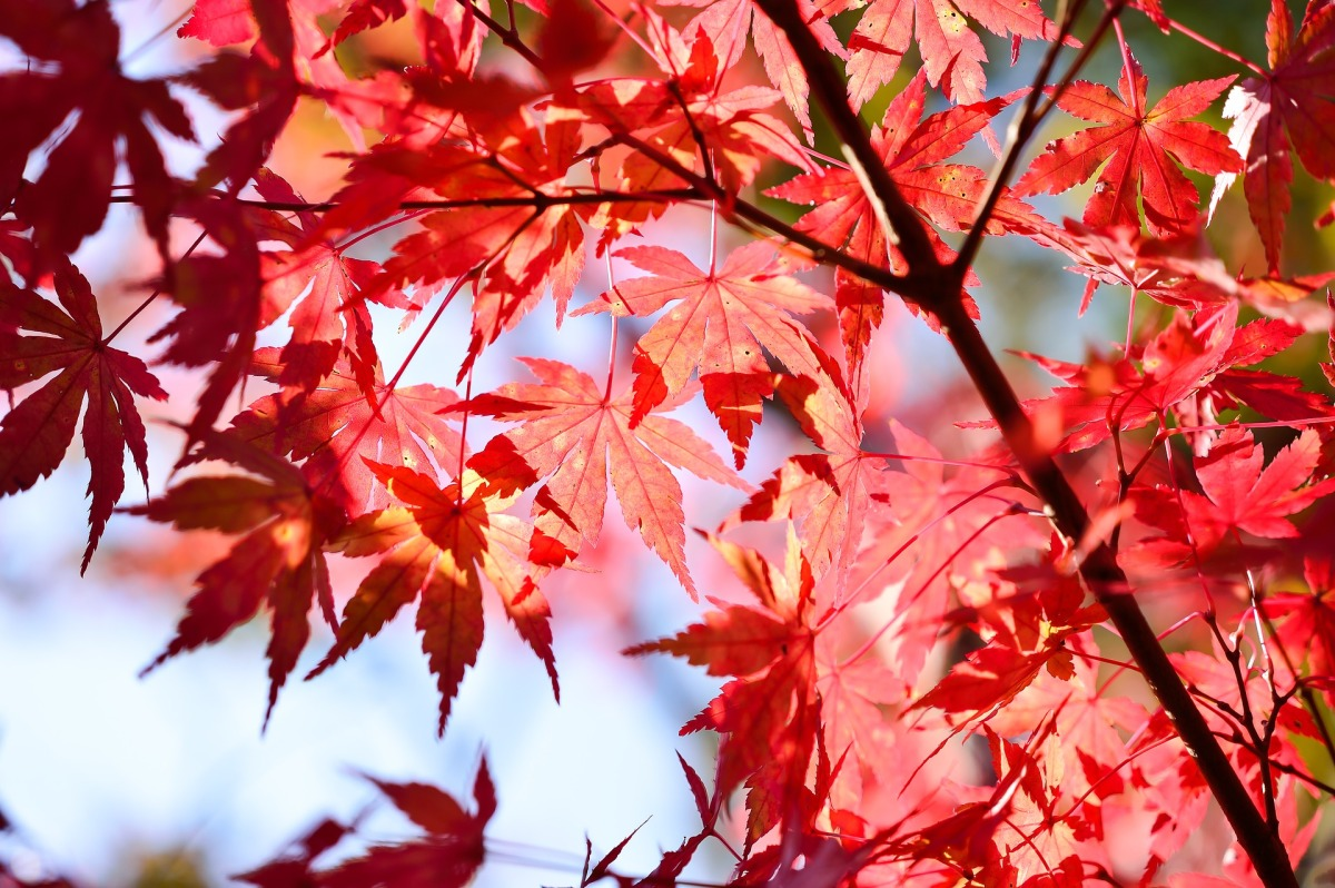 Japan seasons  (autumn).jpg